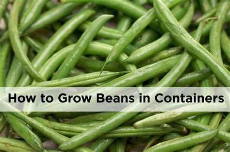 container gardening green beans oltre 1000 idee su organic container gardening su