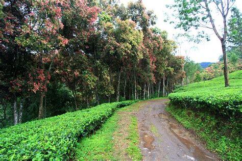 Resmi Teh Kotak agrowisata gunung kebun teh walini agrowisata gunung