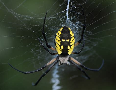 Black And Yellow Garden Spider by Black And Yellow Garden Spider