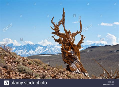bristlecone pine tree california mystic bristlecone pine pinus longaeva ancient bristlecone