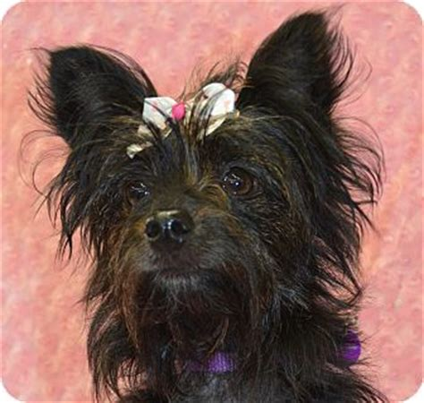 yorkie cairn terrier mix halle adopted bridgeton mo cairn terrier yorkie terrier mix