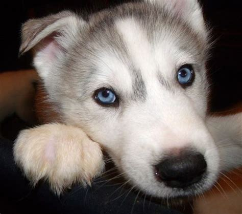 buy wolf puppies wolf hybrid puppies pets