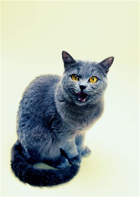 blue cats how to tell the difference in a russian blue cat from a