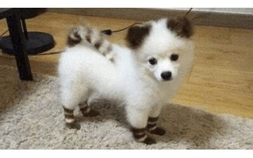 how much are pomsky puppies guide on pomeranian husky rise of sigma