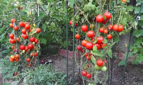 voici comment obtenir la meilleure r 233 colte de tomates des