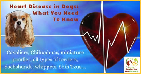 signs of congestive failure in dogs failure congestive left sided in dogs symptoms autos post