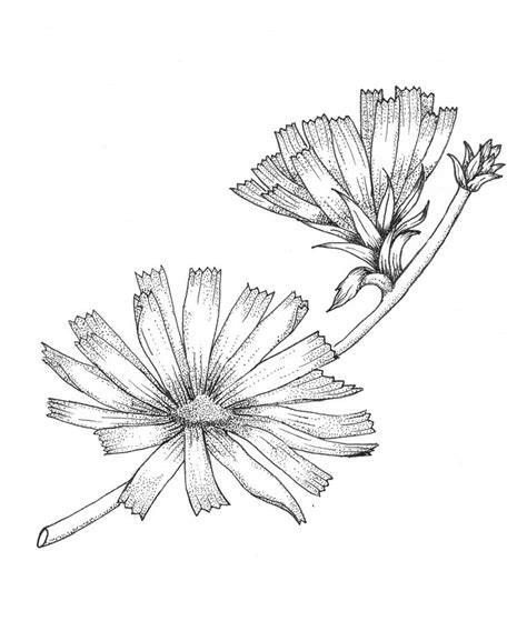 fior daliso wildflower drawings pictures to pin on pinsdaddy