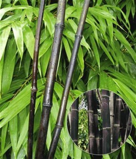 Japanische Bäume Für Den Garten Kaufen by Bambus Winterhart Schnellwachsend Winterharte Bambushecke