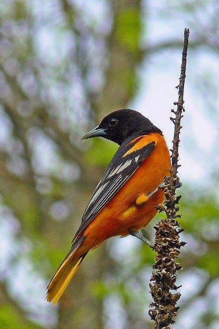 17 best images about bird oriole on pinterest orange