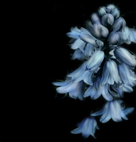17468 Blue Flowers 2 Warna free images nature black and white petal flora blue flower flowers background