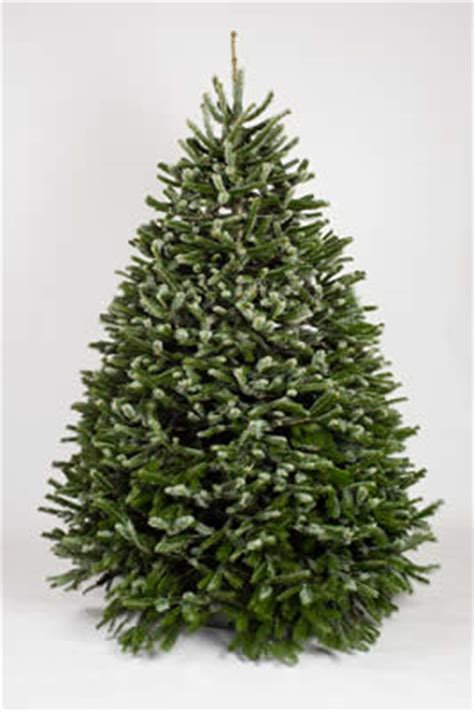 nordmann fir christmas trees buy wholesale from holiday