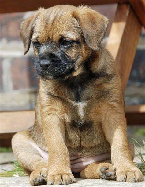 border terrier shih tzu mix border terrier shih tzu mix breeds picture