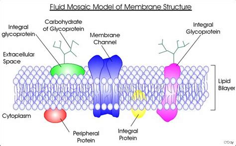 diagram of the fluid mosaic model diagram of cell wall structure gallery how to guide and