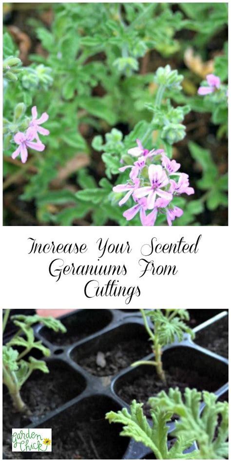 propagating scented geraniums scented geranium