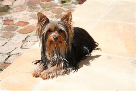 yorkie intelligence list of all breeds intelligence www proteckmachinery