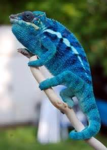 17 best images about chameleon forums beautiful