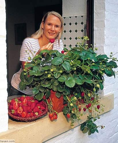 wann ist erdbeerzeit wann ist eigentlich erdbeerzeit