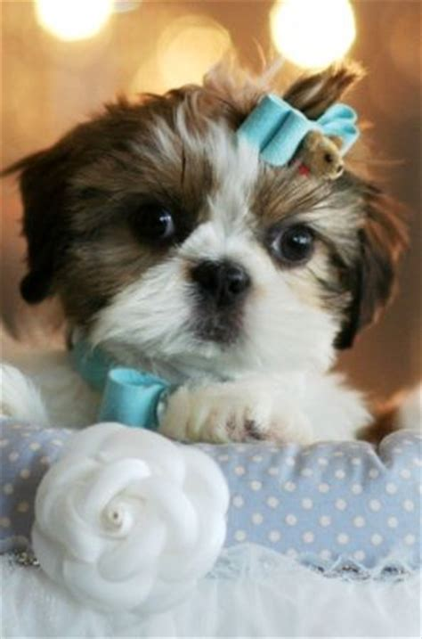 how big does a teacup shih tzu get 1000 ideas about shih tzu rescue on shih tzu shih tzu puppy and shih tzu