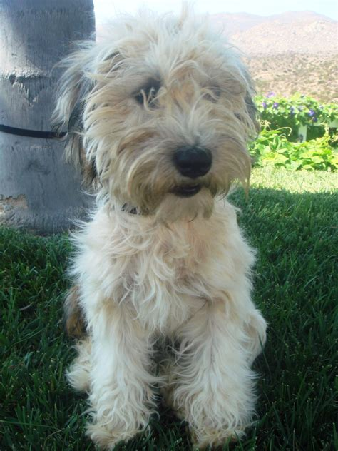 wheaten terrier mix puppies local pet adoption page 8 23 12