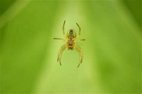 how to keep spiders away from your bed 1000 images about hedge balls osage oranges hedge