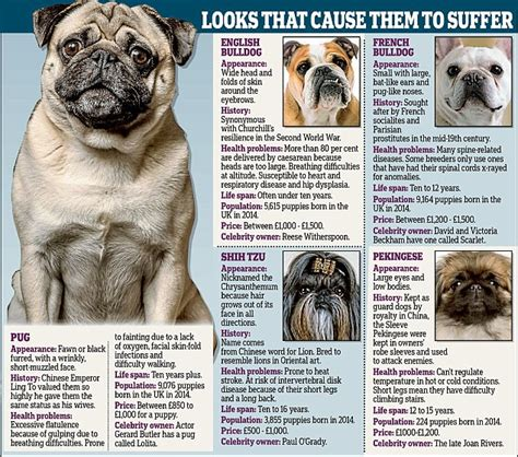 why are pugs faces flat why pugs and bulldogs flat faces daily mail
