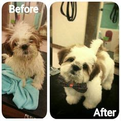 shih tzu haircuts before and after photos before n after grooming on pinterest lhasa apso persian