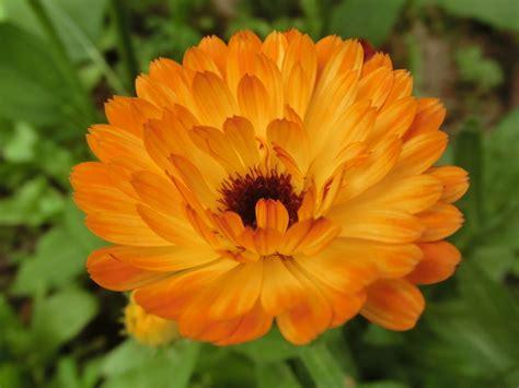 fiore calendula calendula inherba il mondo delle piante aromatiche