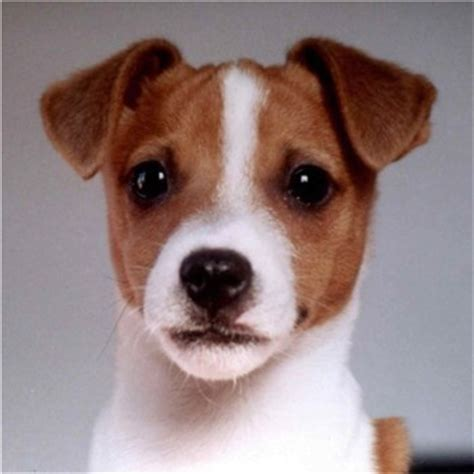 jrt puppies terrier photos pictures terriers page 7