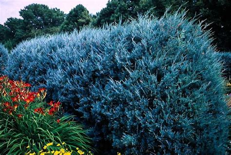 buy juniper wichita blue trees online the tree center