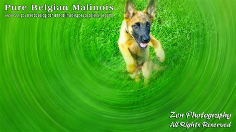 puppies for sale los angeles los angeles belgian malinois breeders puppies for sale in california malinois