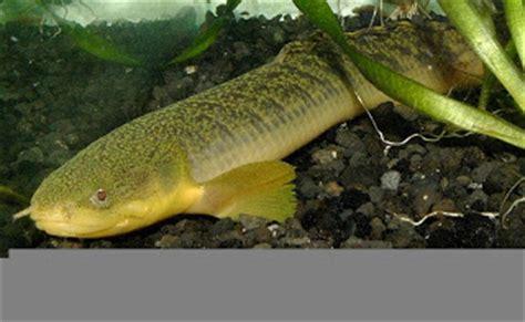Makanan Ikan Hias Palmas mengenal jenis ikan hias akuarium palmas