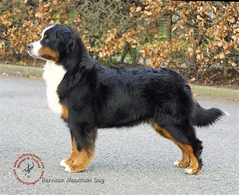 bernese mountain puppies colorado bernese mountain dogs do you one need advice the late bay