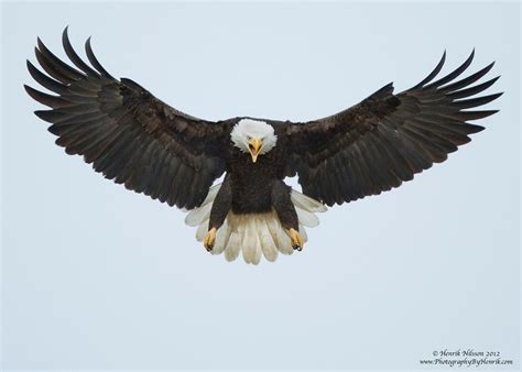 google images eagle images of eagles in flight google search phoenix