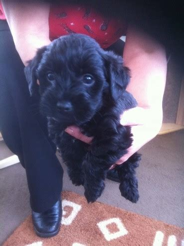 yorkie poo for sale hshire black yorkie x poodie puppies widnes cheshire pets4homes