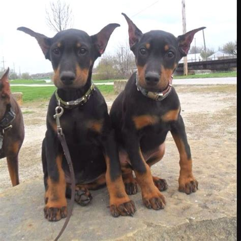 doberman puppies the cutest doberman puppies everrrr dobermans puppys dobermans and