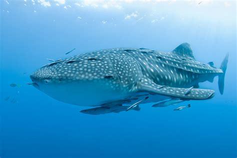 film barat ikan hiu bertamu ke rumah hiu paus di teluk triton mongabay co id