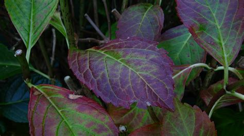 purple leaf color on hydrangeas what to do for a hydrangea with purple leaves