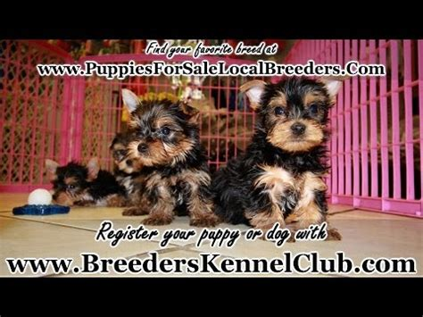 yorkie puppies for sale in columbus ga adorable terrier puppies for sale local breeders puppies