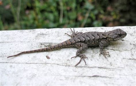 what do lizards eat and drink in backyards lizards eat what images