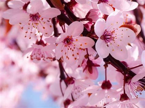 fiori ciliegio significato fiori di ciliegio significato fiori fiori