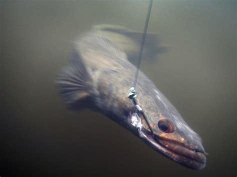 pesce testa di serpente un bellissimo cigno il post