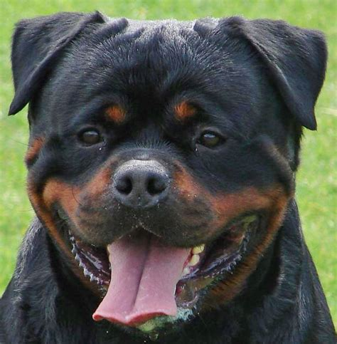 rottweilers time rottweilers big huggable gentle giants animals wiki pictures stories