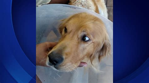 golden retriever rescue of los angeles golden retriever intentionally set on severely burned in los angeles cbs news