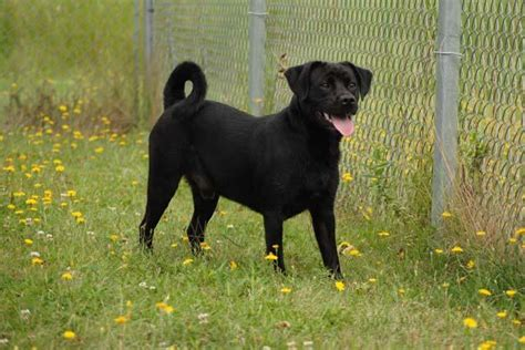 black lab and pug mix adoptions boomer black pug lab mix neutered black niagara falls