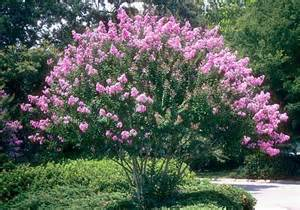 Texas Hill Country Homes Helping Crape Myrtles Thrive San Antonio Express News