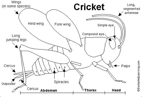 cricket anatomy diagram broz09 team 6 crickets