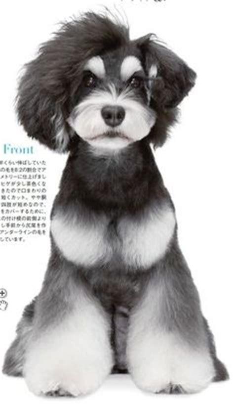 asian style schaunzer hair trim teddy puppy cut pictures a must for beginners lhasa