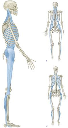 cadenas musculares thomas myers pdf 1000 images about anatomy trains on pinterest javelin