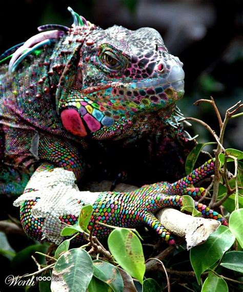 Cd Paket B Chameleons 108 best images about chameleons geckos and other tailed animals on