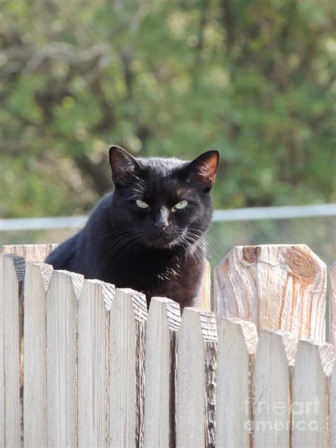 Cats Sitting On A Fence Wishing Iphone Semua Hp black cat on fence photograph by kathy brown